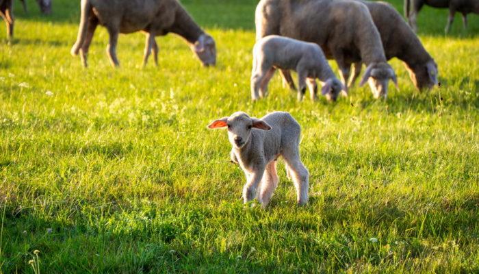 Schafe-Vogelsbergliebe5