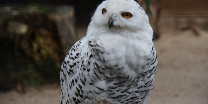 Vogelpark Schotten - Schneeeule